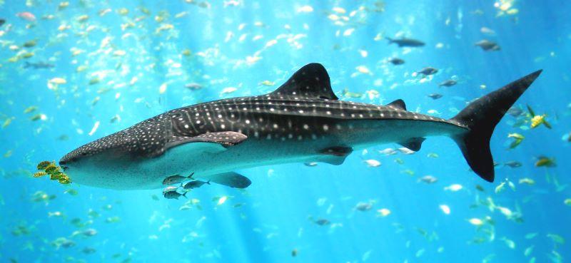 Cá mập voi (cá nhám voi)